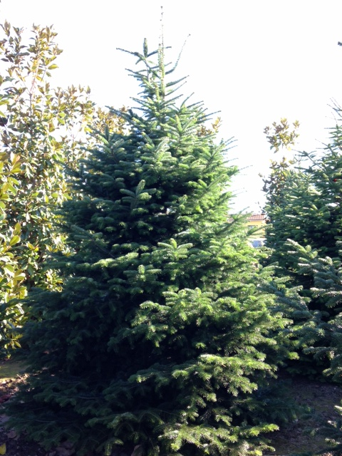 Abies Normandiana 2