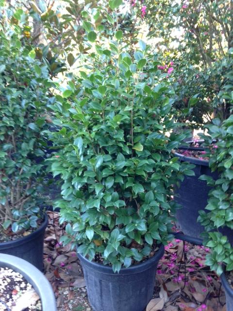 Produzione vivai panconi pistoia magnolie arbusti da for Camelia japonica in vaso