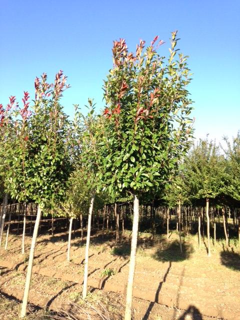 Produzione vivai panconi pistoia magnolie arbusti da for Arbusti ad alberello
