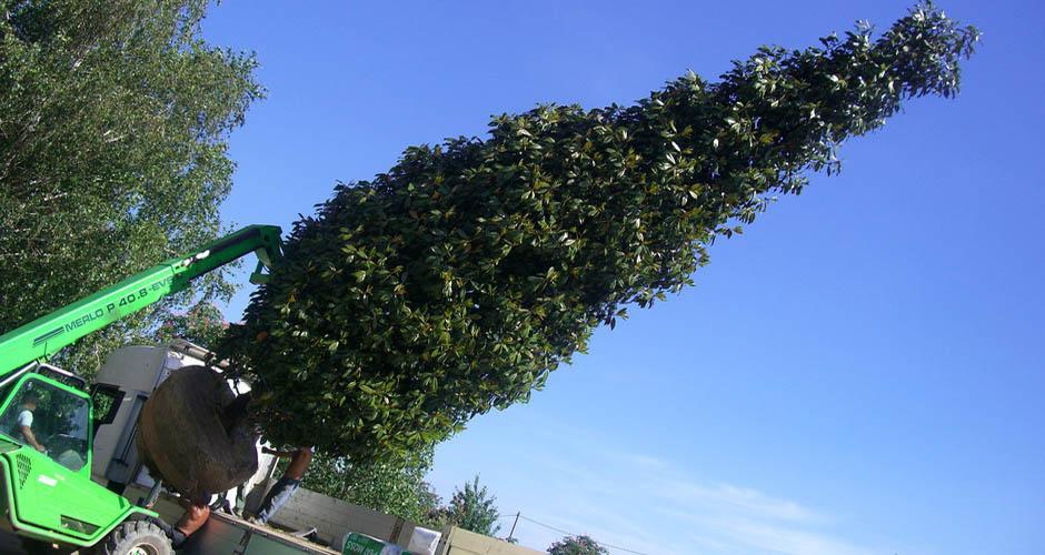 Vivai panconi pistoia magnolie arbusti da siepe e for Arbusti ad alberello