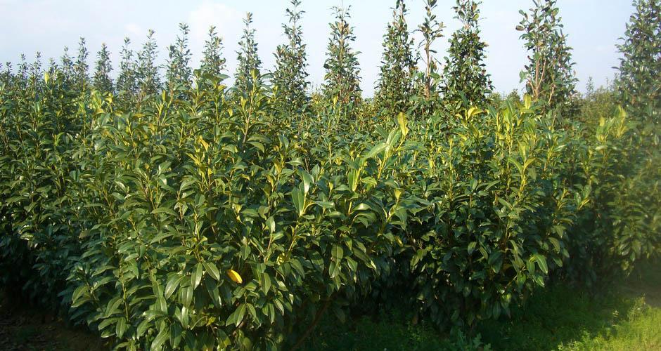 Vivai panconi pistoia magnolie arbusti da siepe e for Arbusti da siepe